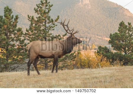 a bull elk on a ridge during the fall rut