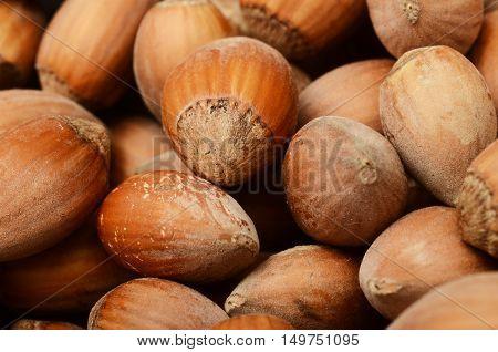 Close up of Fresh hazel nuts for autumn season