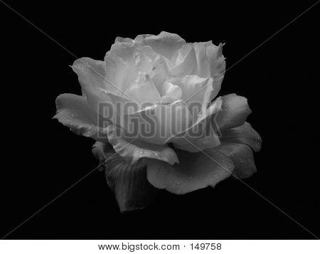 Rose_bw