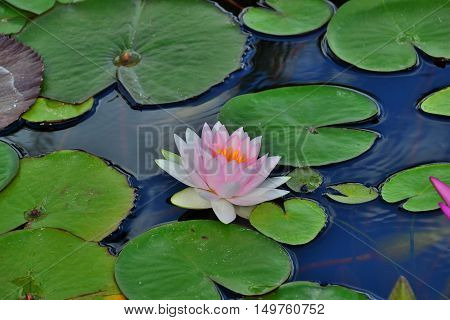 Pink water lily on lilypads in a pond water closeup green