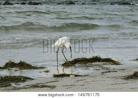 Snowy egret eating sea grass on the beach.