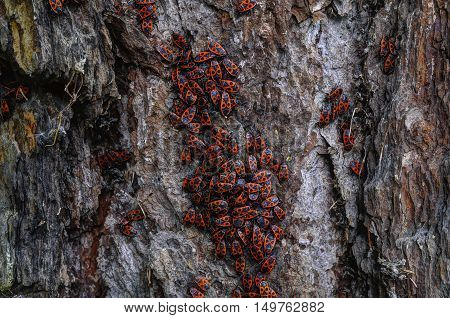 Man-faced bugs on a old larch bark