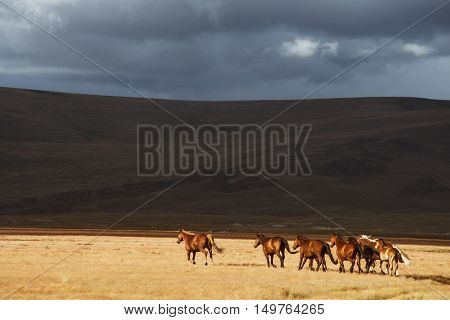 Herd of the running horses in the field on hill backdrop