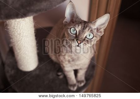 Friendly Devon Rex cat with beautiful big eyes is looking at camera. Cat is sitting on the Scratching Post. Cat Furniture & Scratchers allow your cat to live out the natural scratching habit