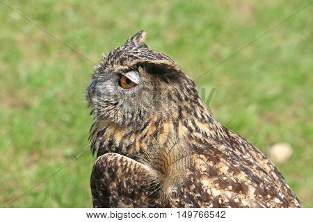 close up of an Eagle Owl on the ground