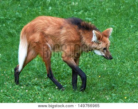 Maned wolf (Chrysocyon brachyurus) walking around in its natural habitat