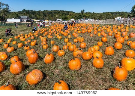 North Salem NY - September 25 2016 people in the pumpkin patch at Outhouse Orchard.