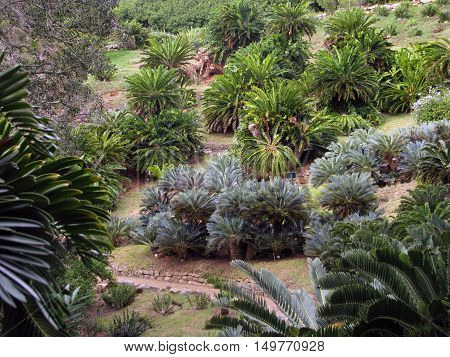 Cycads, From Kirstenbosch Botanical Gardens, Cape Town South Afica