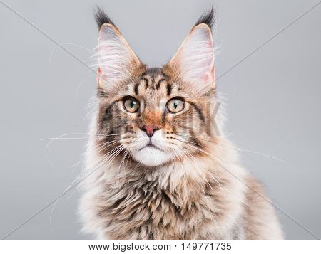 Portrait of domestic black tabby Maine Coon kitten - 5 months old. Close-up studio photo of striped kitty looking at camera. Cute young cat on grey background.