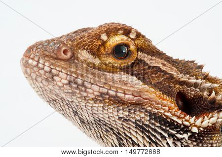 one agama bearded on white background.reptile close-up.