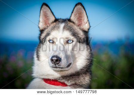 closeup of husky dog with blue eyes