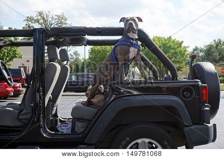 BOLINGBROOK, ILLINOIS / UNITED STATES - SEPTEMBER 17, 2016: An American Staffordshire bull terrier guards a Jeep Wrangler in the parking lot of a Bolingbrook strip mall.