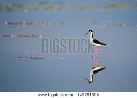 Black-necked Stilt wading on the shores of a prairie lake Alberta Canada