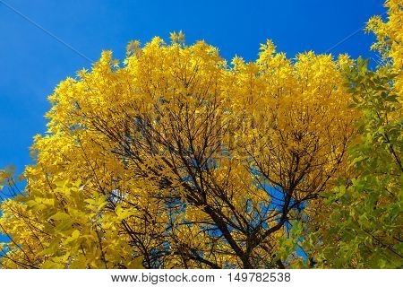 Krone of Autumn tree with yellow leaves against the blue sky