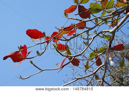 Lamp in Red leaves of sea-almond tree