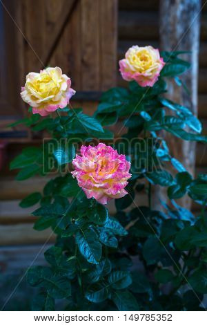 Roses yellow rose pink rose wooden lodge rose bush
