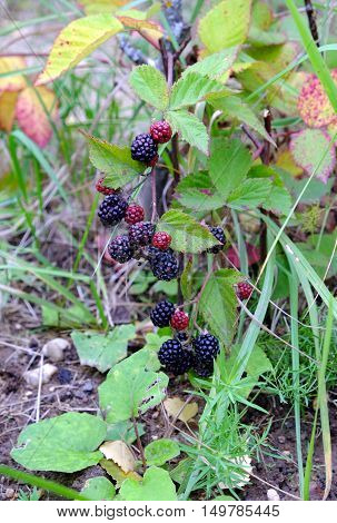 Ripe blackberries are hanging on branch against the backdrop of greeen grass. Vertical close-up photo
