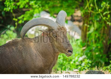 Barbary Sheep And Tree.