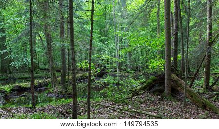Primeval forest in spring with broken trees and water, Bialowieza Forest, Poland, Europe
