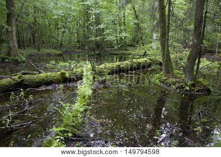 Old broken oak in water lying with plant grows over, Bialowieza Forest, Poland ,Europe