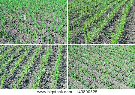 Young shoots of green onions in the gardening of the farmland in the early spring