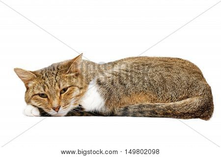 Lying Cat Isolated On White