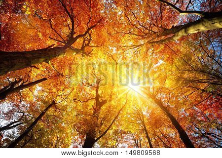 Autumn sun warmly shining through the canopy of beech trees with gold foliage worm's eye view