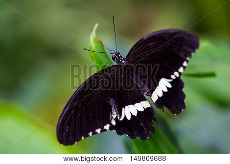 Portrait of tropical common mormon butterfly on the leaf.
