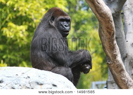Gorilla on rock