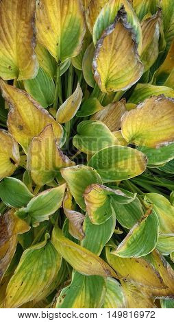 Autumn green-yellow big leaves hosta on flowerbed