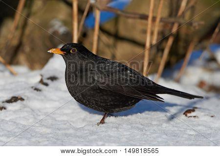 Common blackbird (Turdus merula) looking for food in snow in its habitat