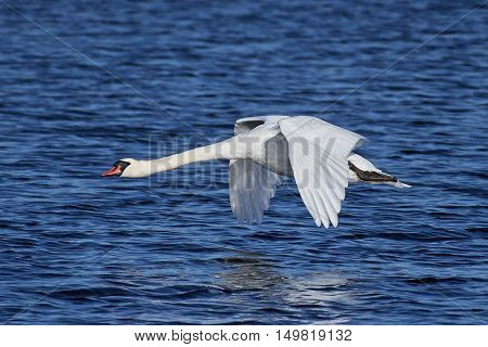 Mute swan (Cygnus olor) in flight with blue water in the background