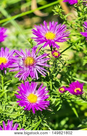 The cushion Aster (Aster dumosus). Autumn perennial Aster with purple flowers