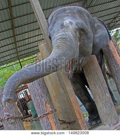 Elephant In National Conservation Centre Kuala Gandah