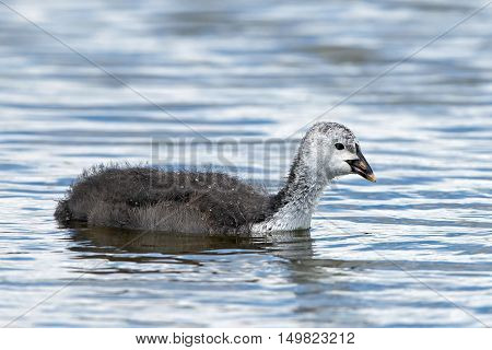 Juvenile Eurasian coot (Fulica atra) swimming in water in its habitat