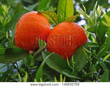 Ripe Oranges Hanging on a Fruit Tree Branch. Water drops on Orange