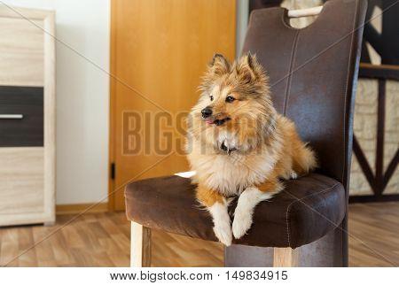 Shetland Sheepdog lies on a brown chair