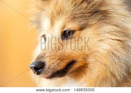 a Shetland Sheepdog portrait on brown background
