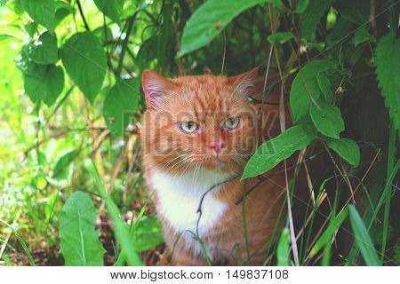 Red Cat in the bush beautiful, nature bush red, white