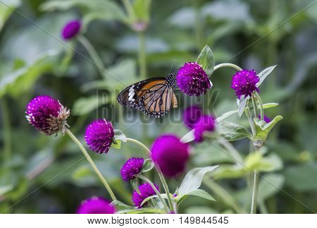 Butterflies for nectar on beautiful purple flowers(Globe amaranth)