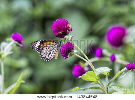 Butterflies for nectar on beautiful purple flowers (Globe amaranth)