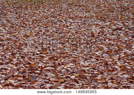 Red and brown fallen dead leaves covering the ground