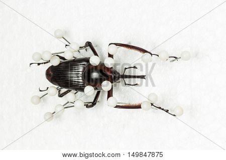 Dried Snout Beetle, Dry Preservation Snout Beetle