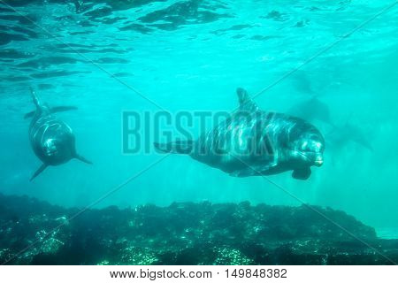 Two dolphins swim and play in a water. Dolphin underwater sea background.