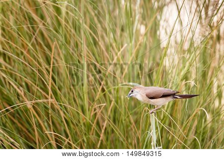 An Indian Silverbill or White-throated Munia in a garden in Bahrain