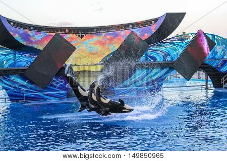 Orlando Florida United States - April 22 2012: three killer whale jumping together at Seaworld. Seaworld is an animal theme park oceanarium and to a marine park.