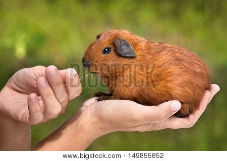 feeding guinea pig sitting on the hand on green blurred background