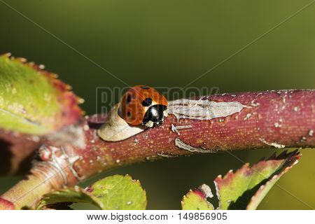 ladybird on a rose branch. Ladybug and rose branch
