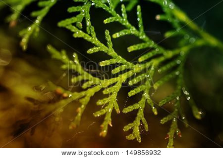 Leaves of pine tree or Oriental Arborvitae Scientific Name:Thuja Orientali. Thuja leaves close up