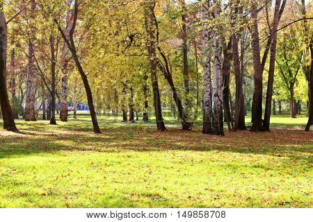 Glade in park among yellow leaves green grass and birch trees in autumn day